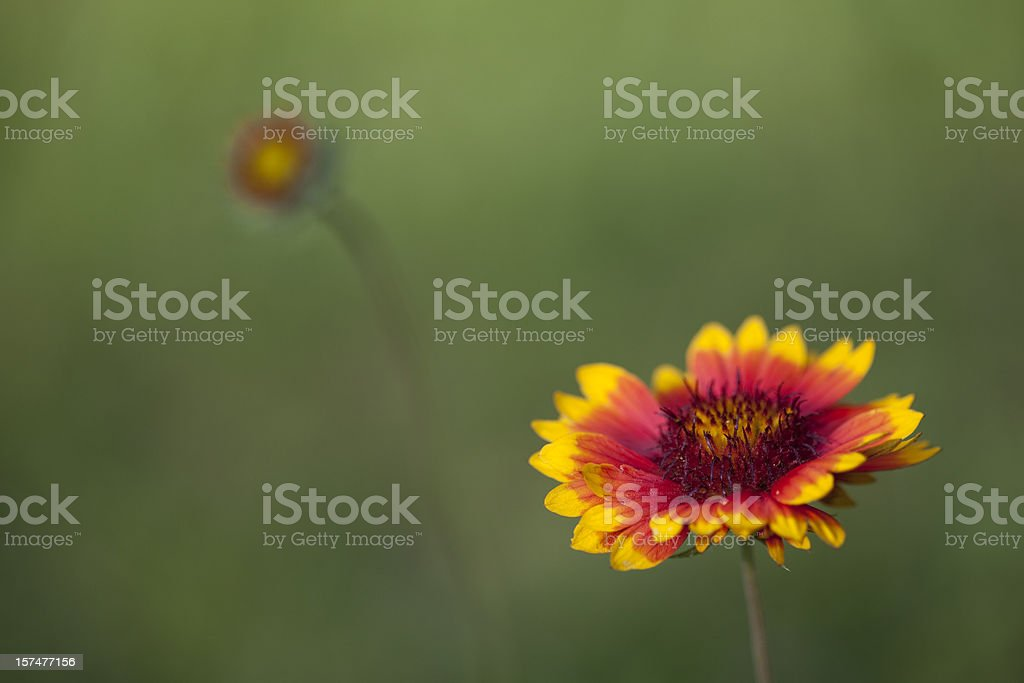 Gaillardia and Bud stock photo