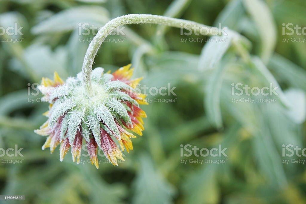 Gaillardia aristata Blanket Flower Blossom Frost stock photo