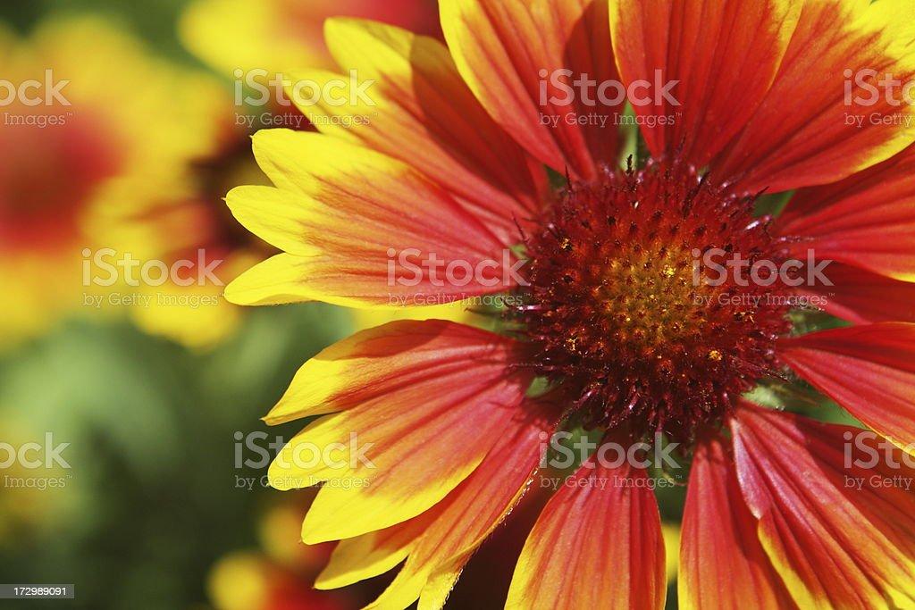 Gaillardia aristata Blanket Flower Blossoms stock photo