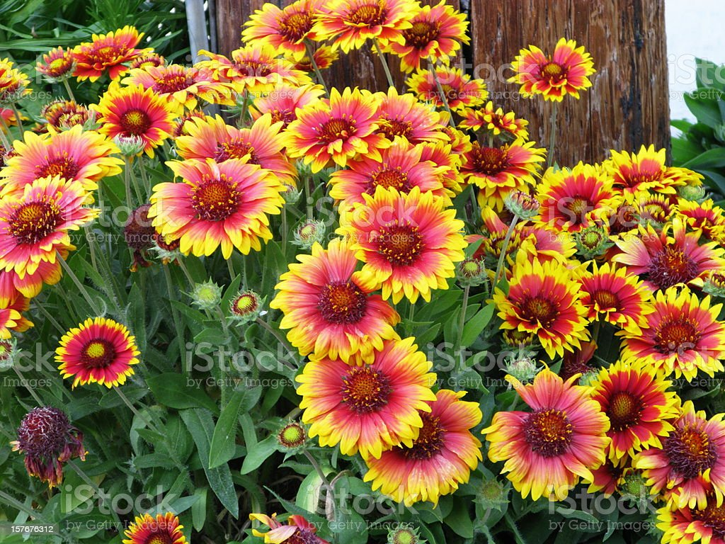 Gaillardia Aristata Blanket Flower stock photo