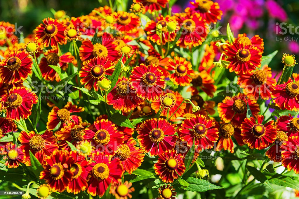 Gaillardia aristata flowers stock photo