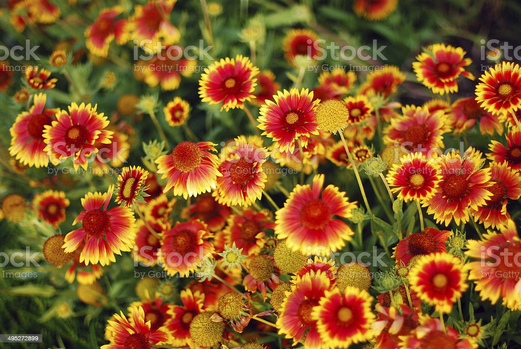 Gaillardia aristata stock photo