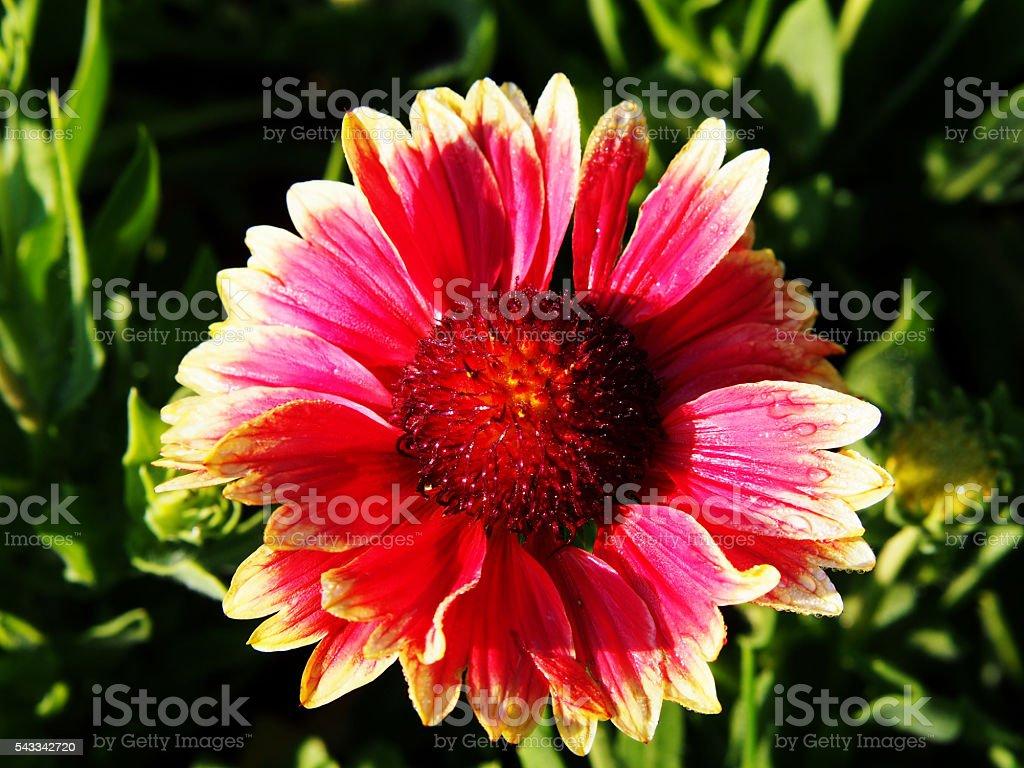 Gaillardia aristata 'Sunset Snappy' stock photo