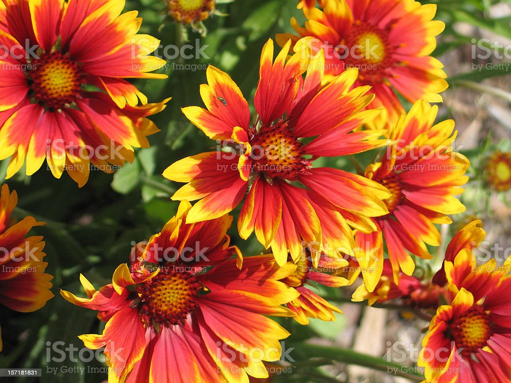 Gaillardia Blossoms stock photo