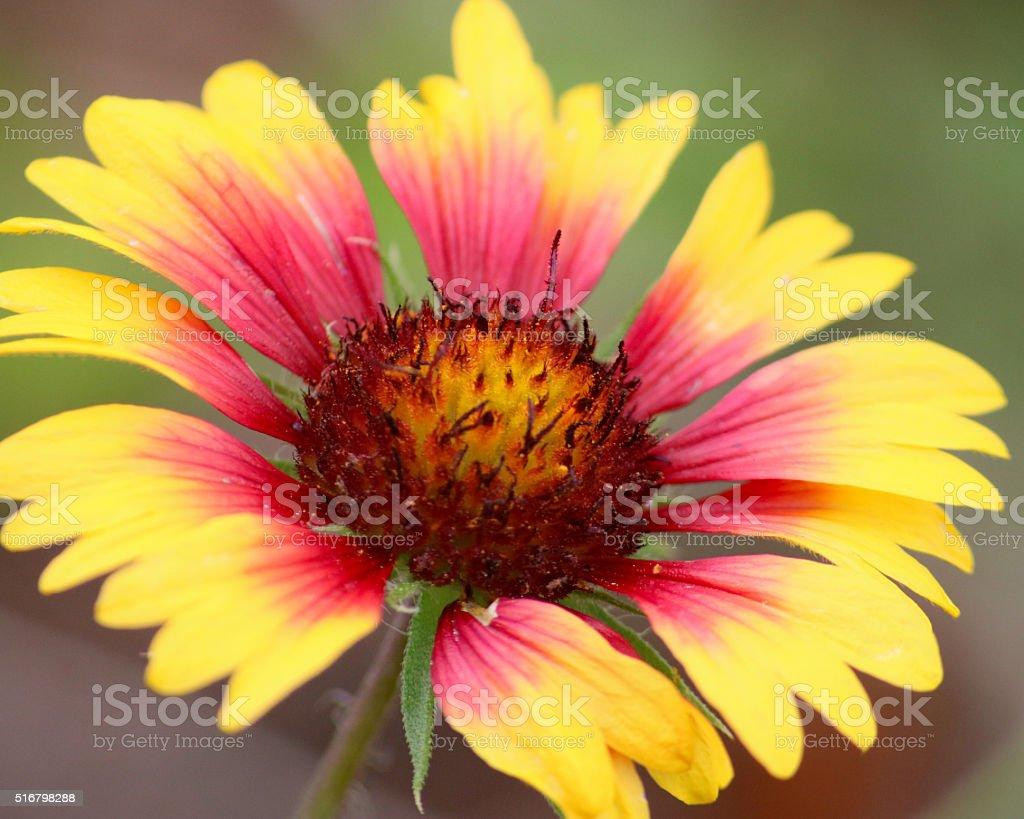 Gaillardie Gros plan de fleurs photo libre de droits