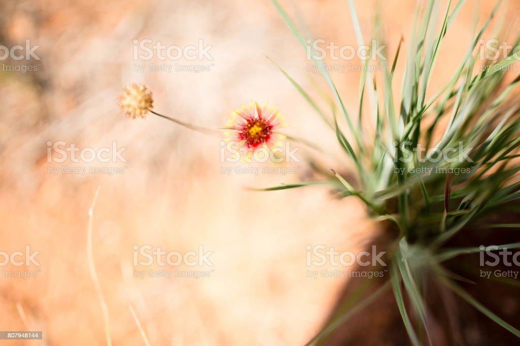 Gaillardia Flower stock photo