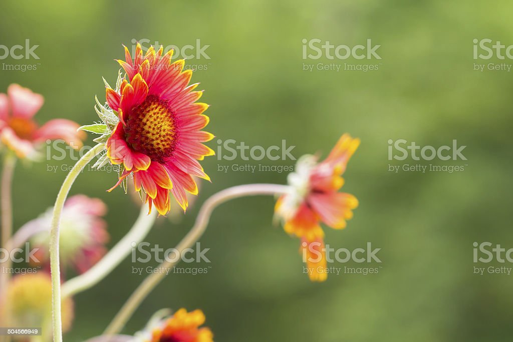 Gaillardia flowers in field stock photo