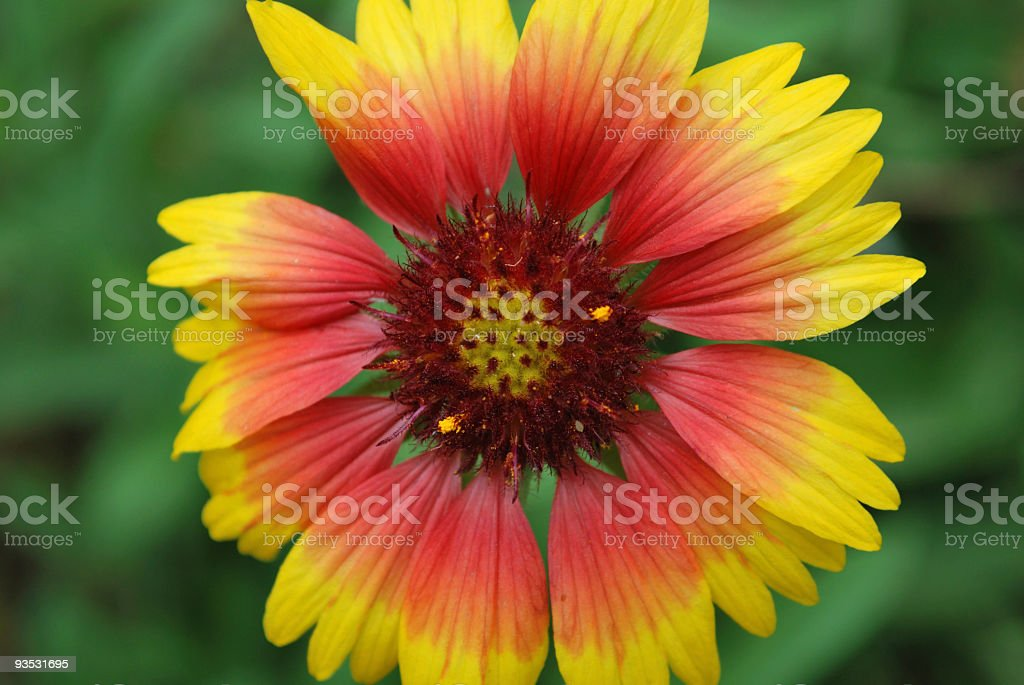 Gaillardia Goblin (Blanket Flower) of Red and Yellow stock photo