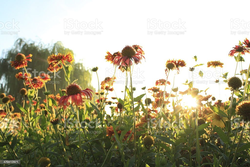 Gaillardia stock photo
