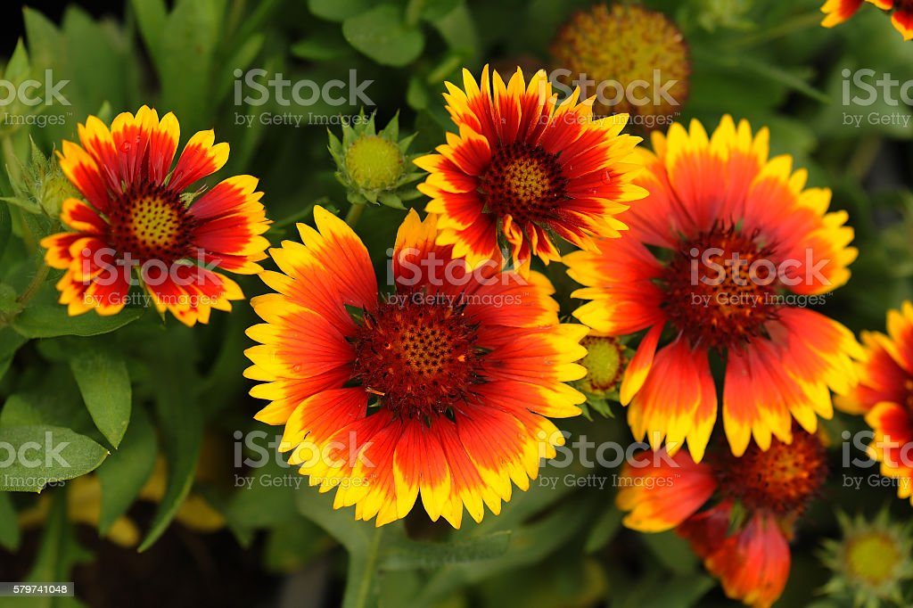 Gaillardia pulchella Foug, Blanket Flower stock photo