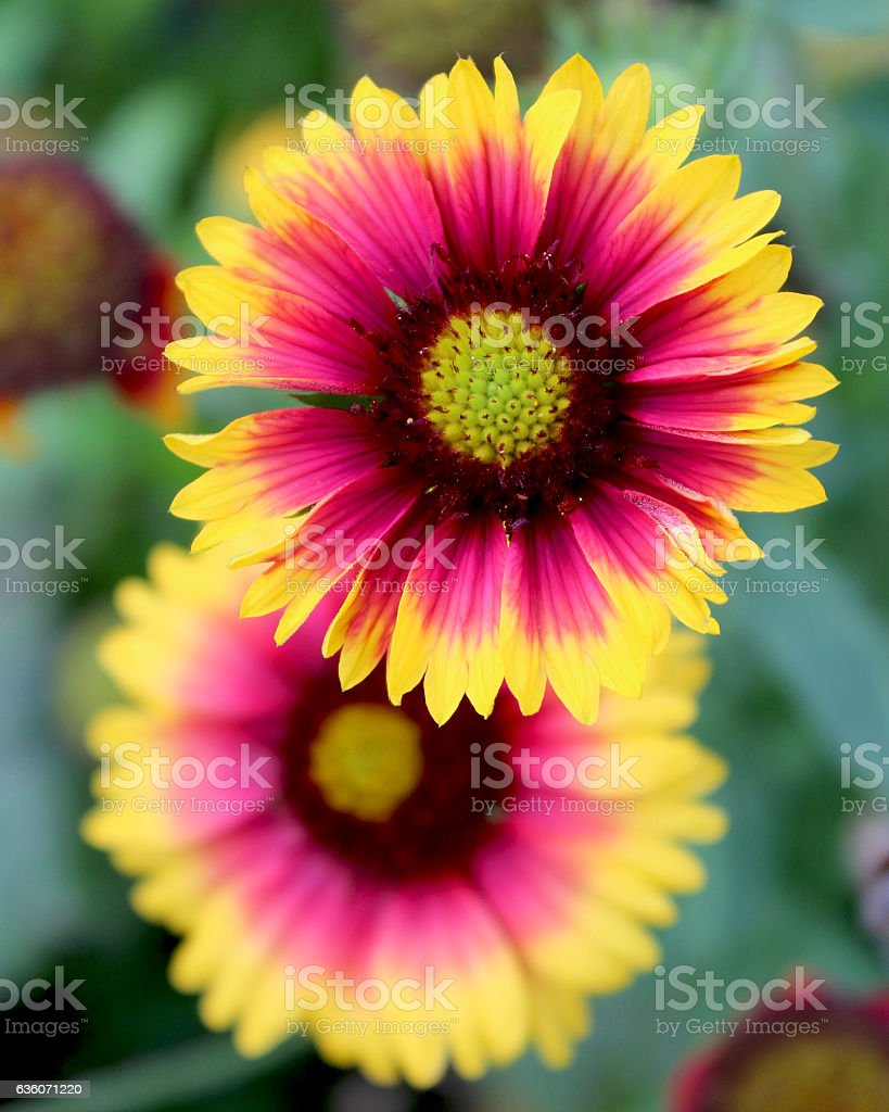 Gaillardia pulchella 'Picta' stock photo