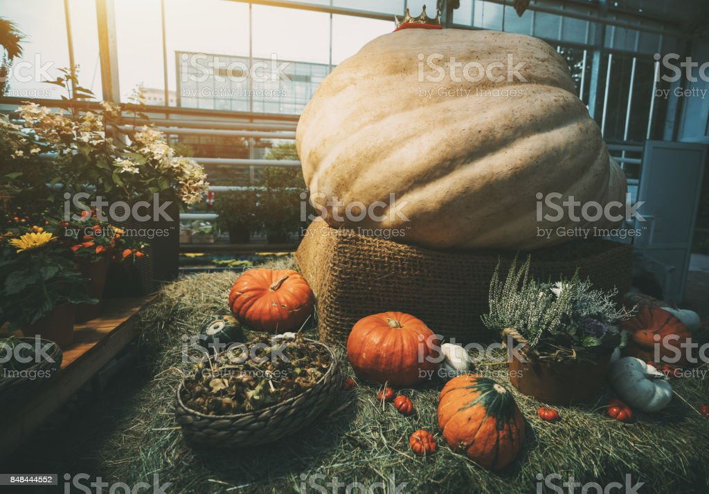 Gaint pumpkin and thanksgiving day stock photo