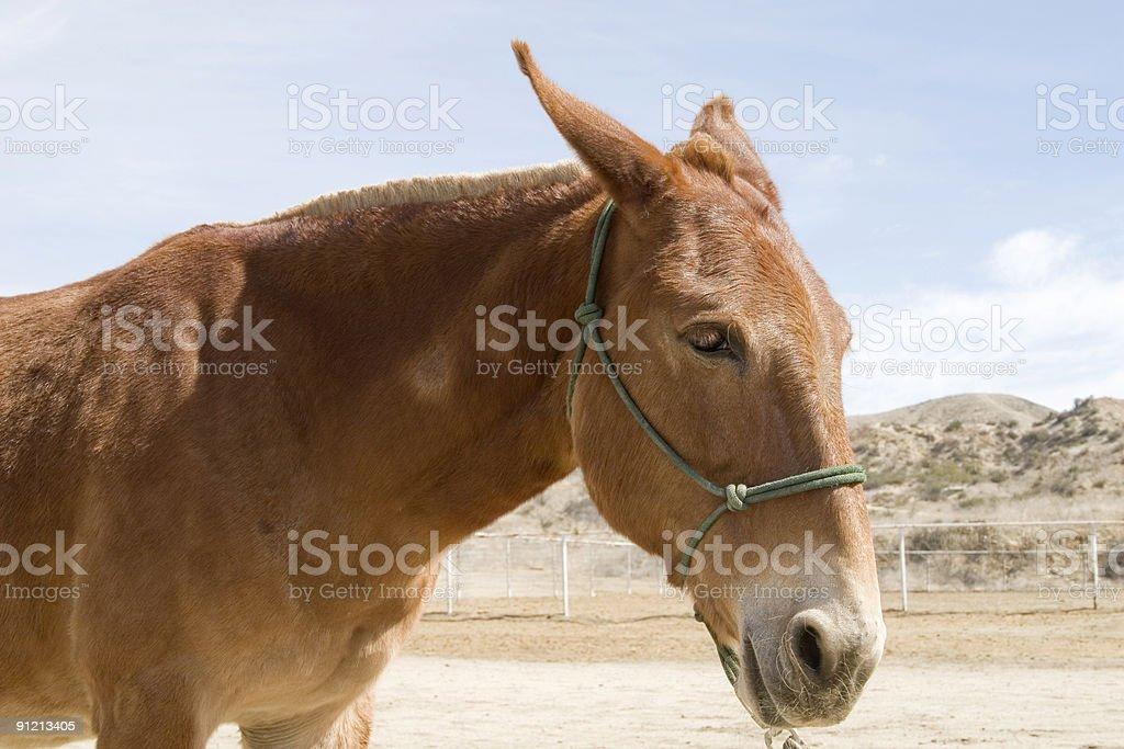 Gaited Mule stock photo
