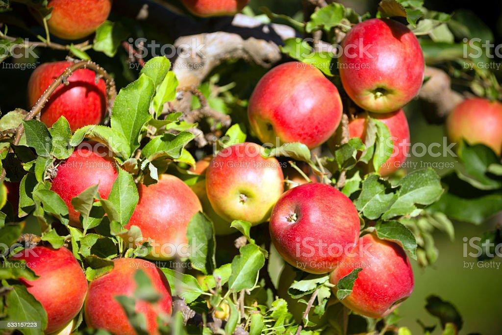 Gala Apple Tree Orchard stock photo