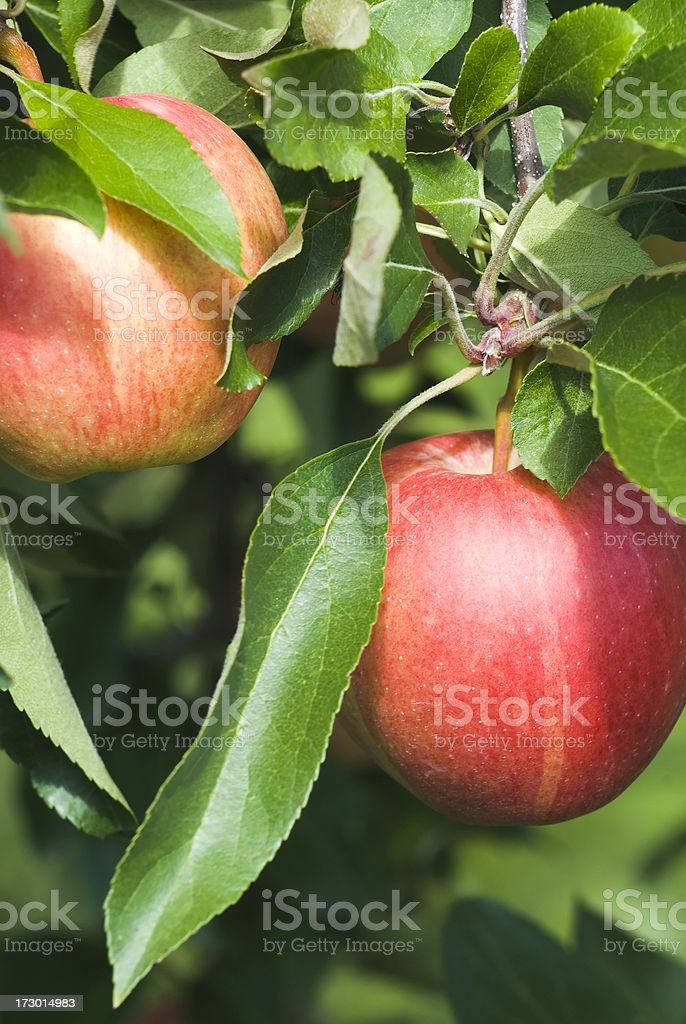 Gala Apples in the orchard - II stock photo