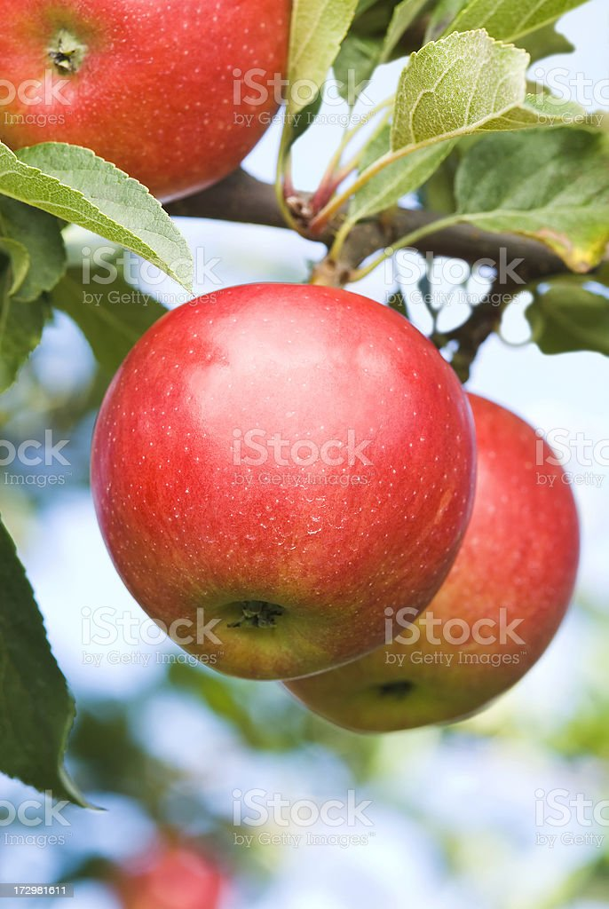 Gala Apples in the orchard - IV stock photo