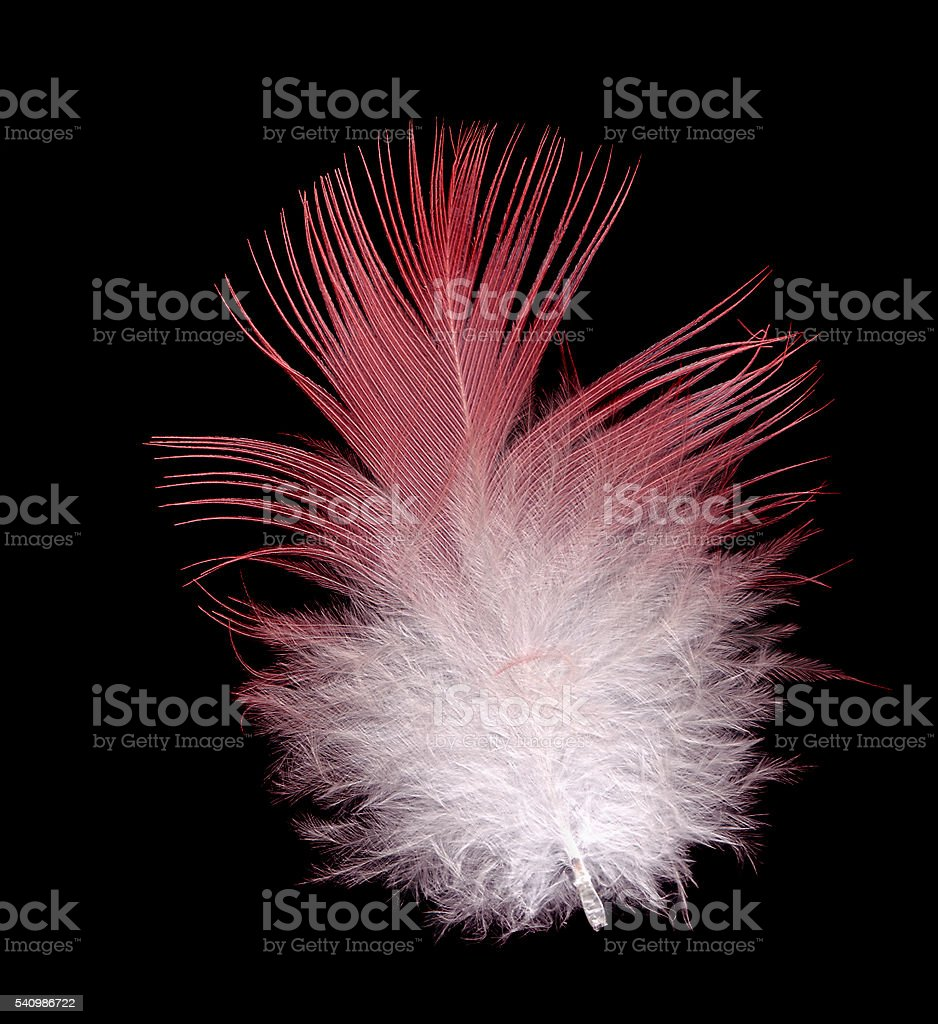 galah bird feather pink and white  on black stock photo