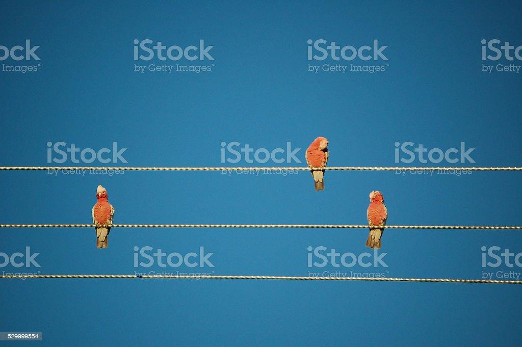Galah birds stock photo