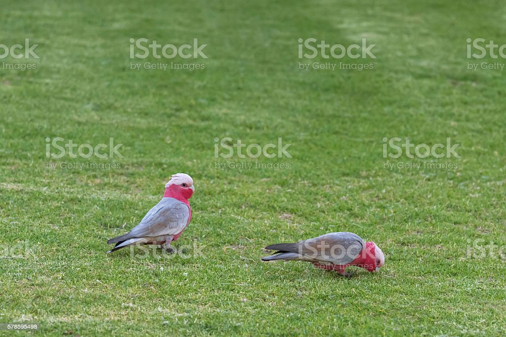 Galah birds, Rose breasted cockatoo, in gray pink plumage stock photo