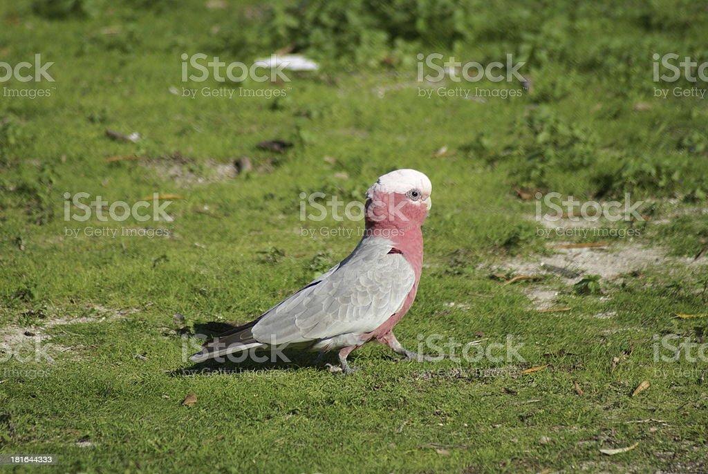 Galah cockatoo male on grass stock photo