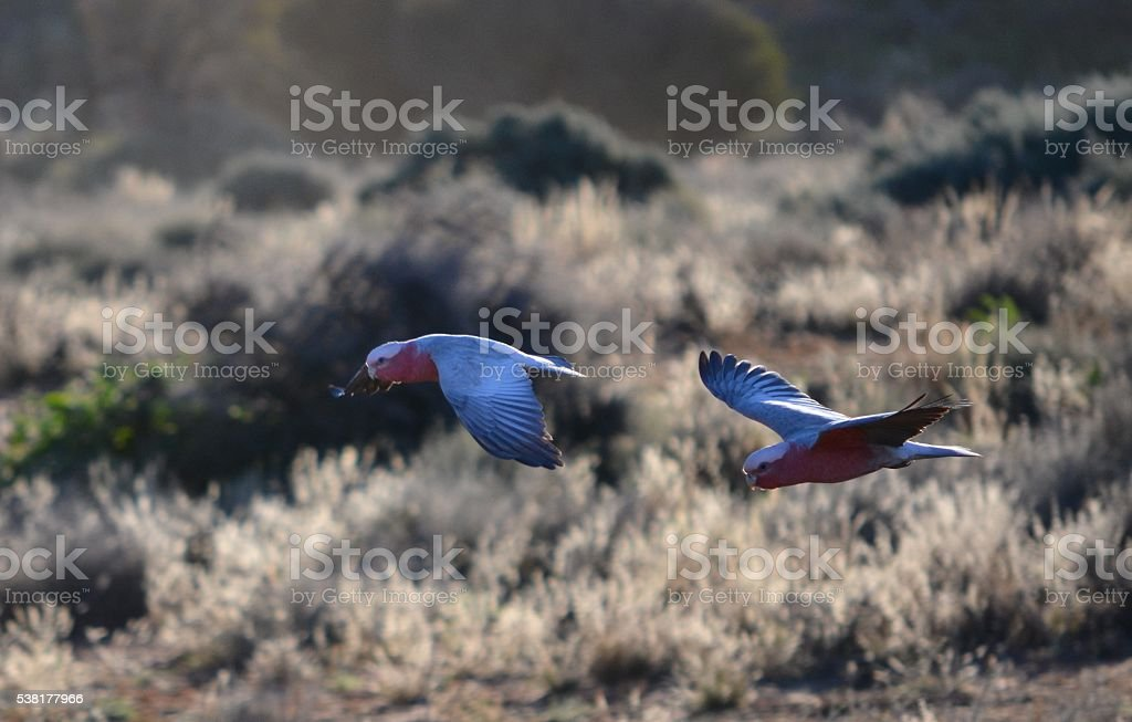 Galahs flying into outback sunset stock photo