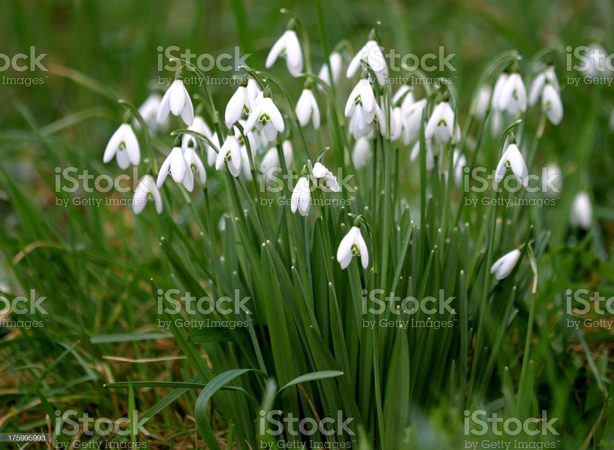 Galanthus nivalis royalty-free stock photo