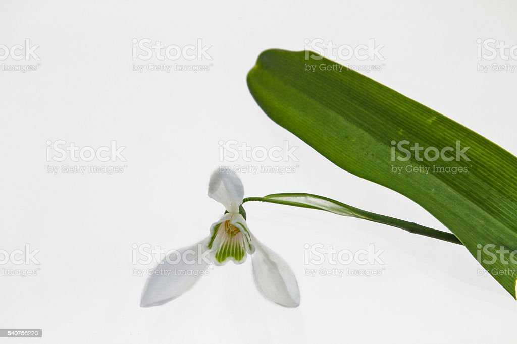 Galanthus nivalis stock photo
