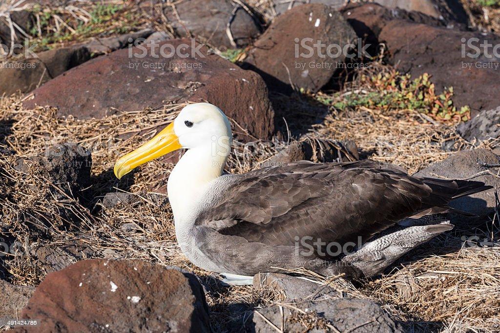Galapagos albatross stock photo
