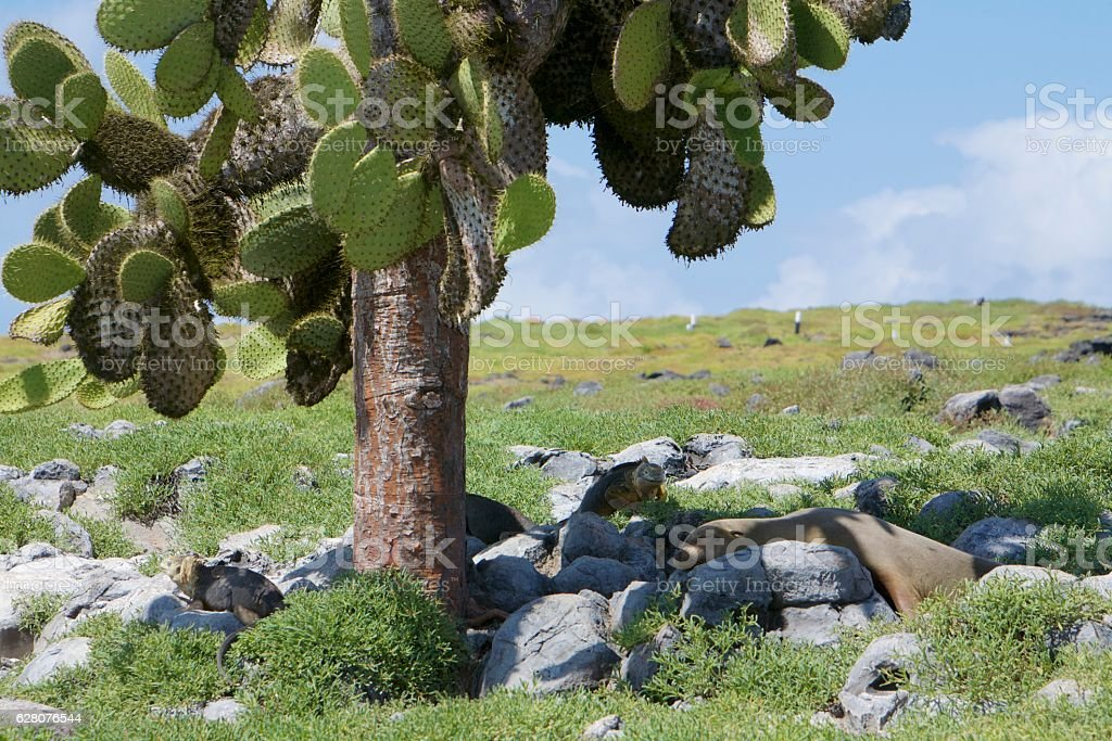 Galapagos cactus tree stock photo
