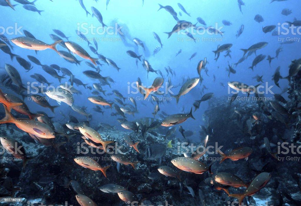 Poisson des Galapagos photo libre de droits