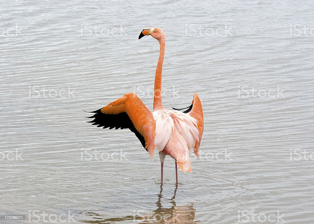 Galapagos Flamingo royalty-free stock photo