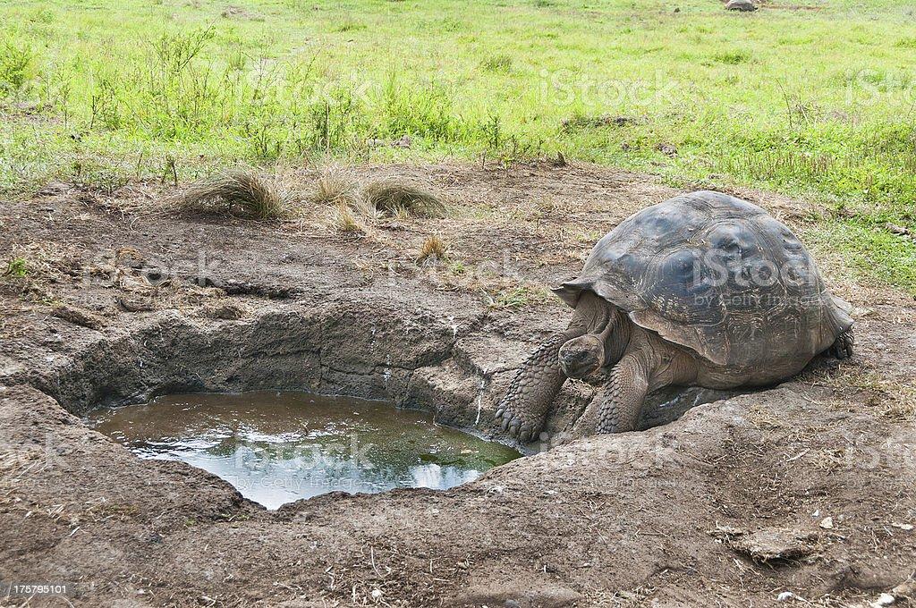 Galapagos Gaint Tortoise seeking water royalty-free stock photo