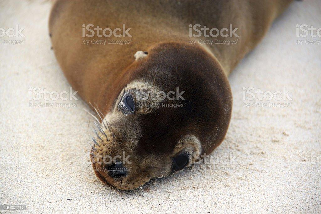 Galapagos: Galápagos sea lion on Santa Fe Island stock photo