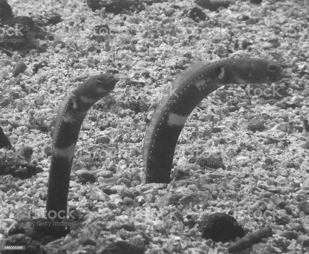 Galapagos Garden Eels stock photo