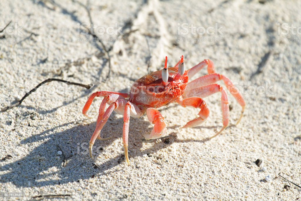 Galapagos ghost crabs royalty-free stock photo