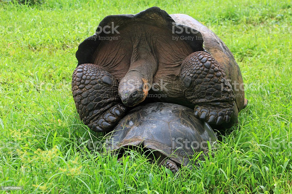 Galapagos giant tortoise turtle mating stock photo