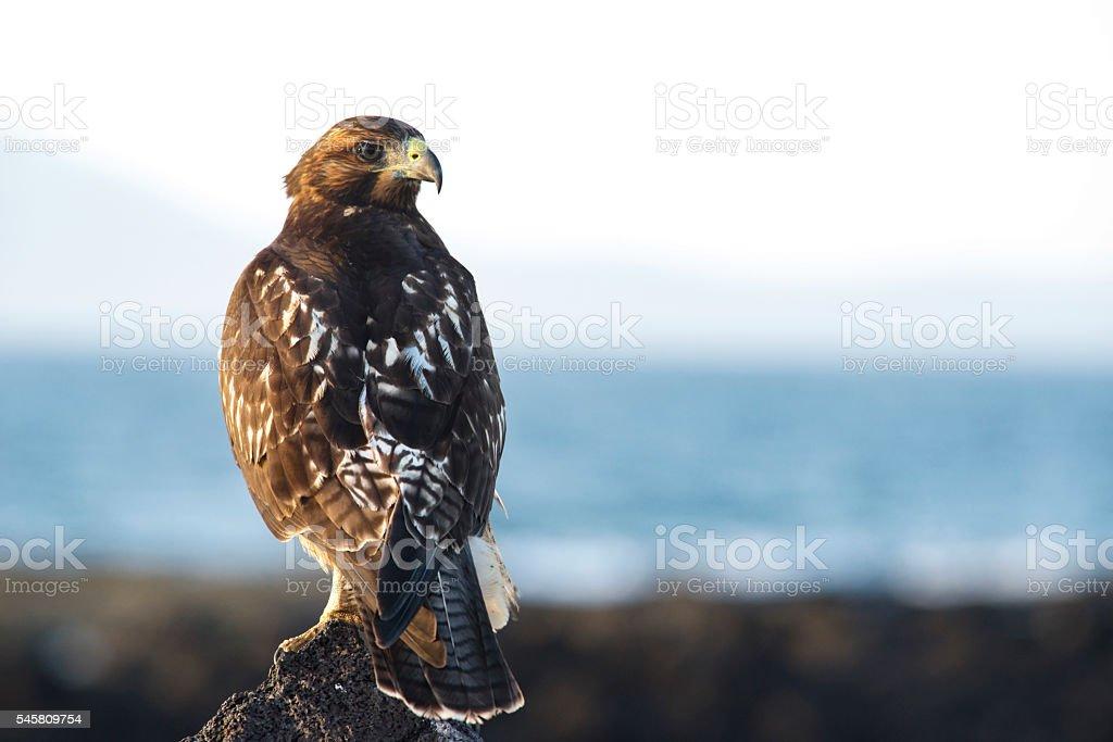 Galapagos Hawk 6 stock photo