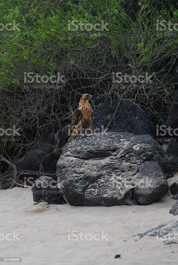 Galapagos Hawk Perched on a Rock royalty-free stock photo