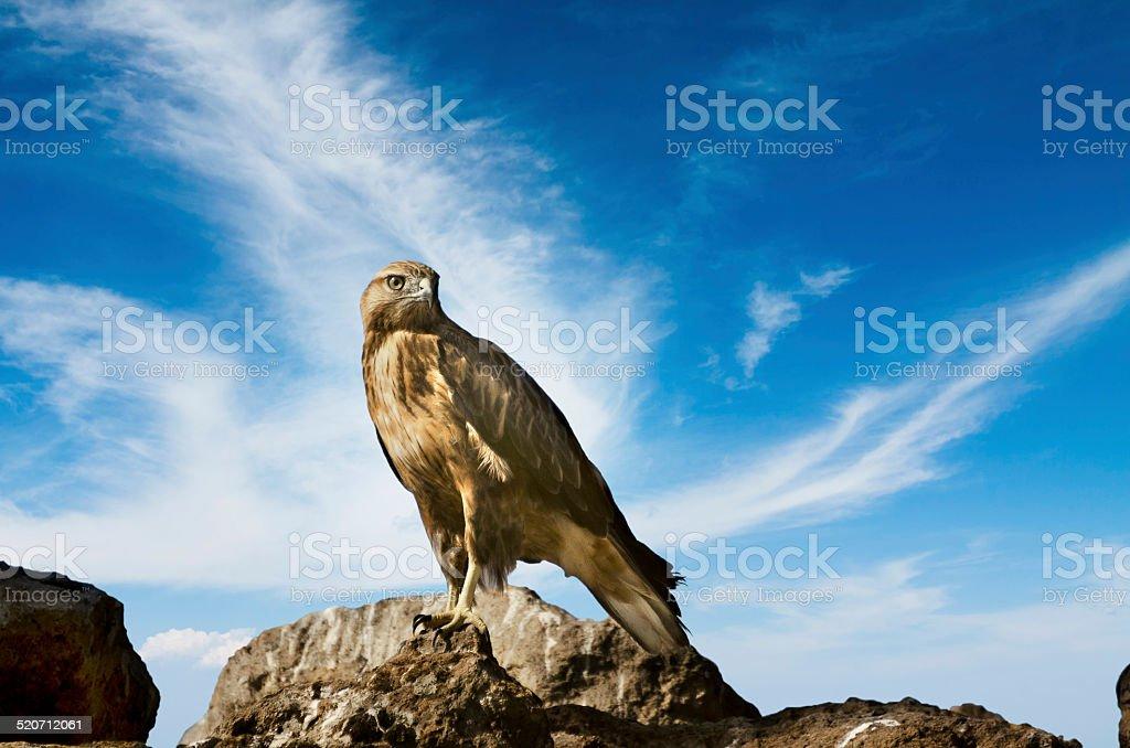 Galapagos Hawk stock photo