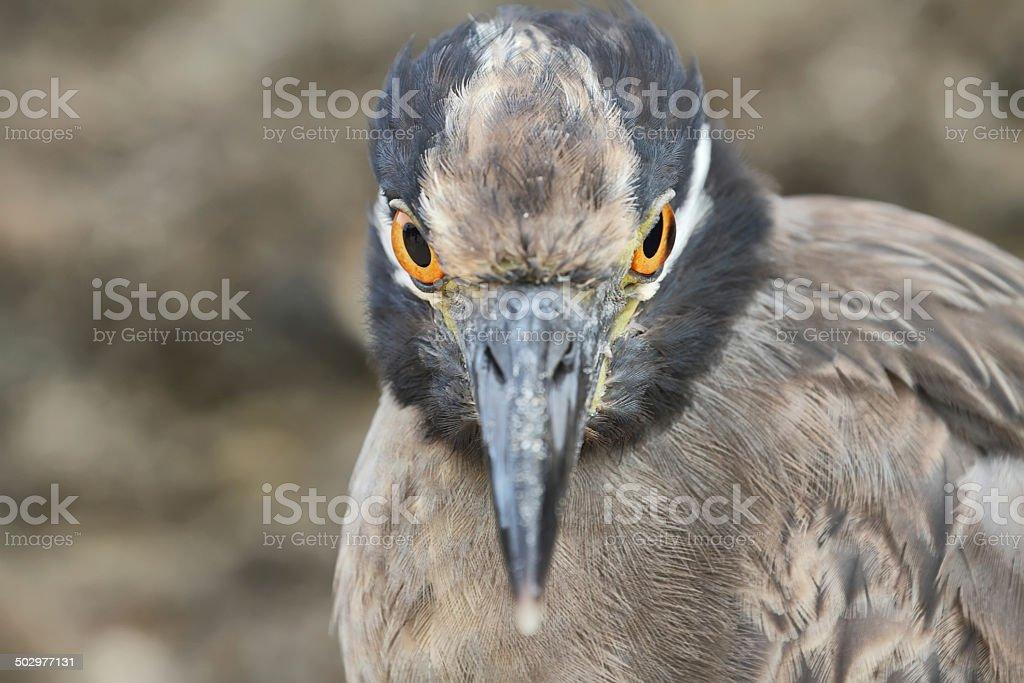 Galapagos heron in Floreana island royalty-free stock photo