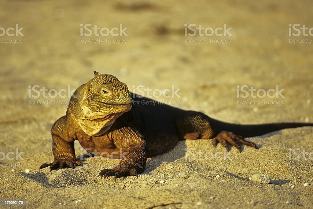 Galapagos Iguana stock photo