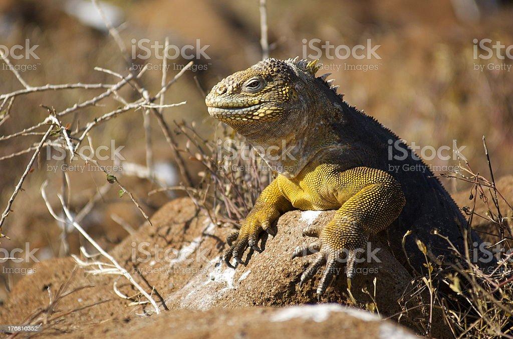 Galapagos Island land Iguana - Conolophus subcristatus royalty-free stock photo