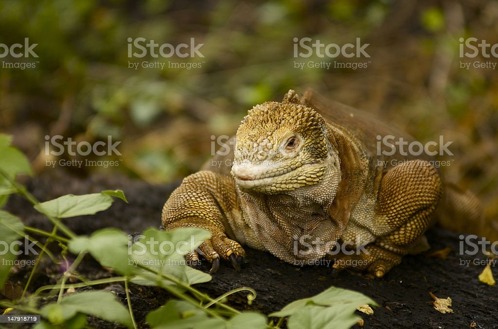 Galapagos Island land Iguana stock photo