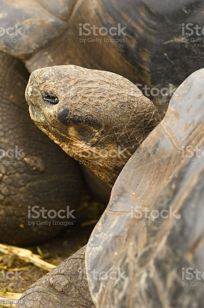 Galapagos Island Turtle stock photo