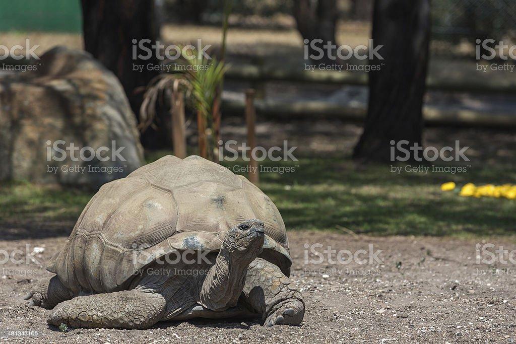 Galapagos Island Turtle royalty-free stock photo