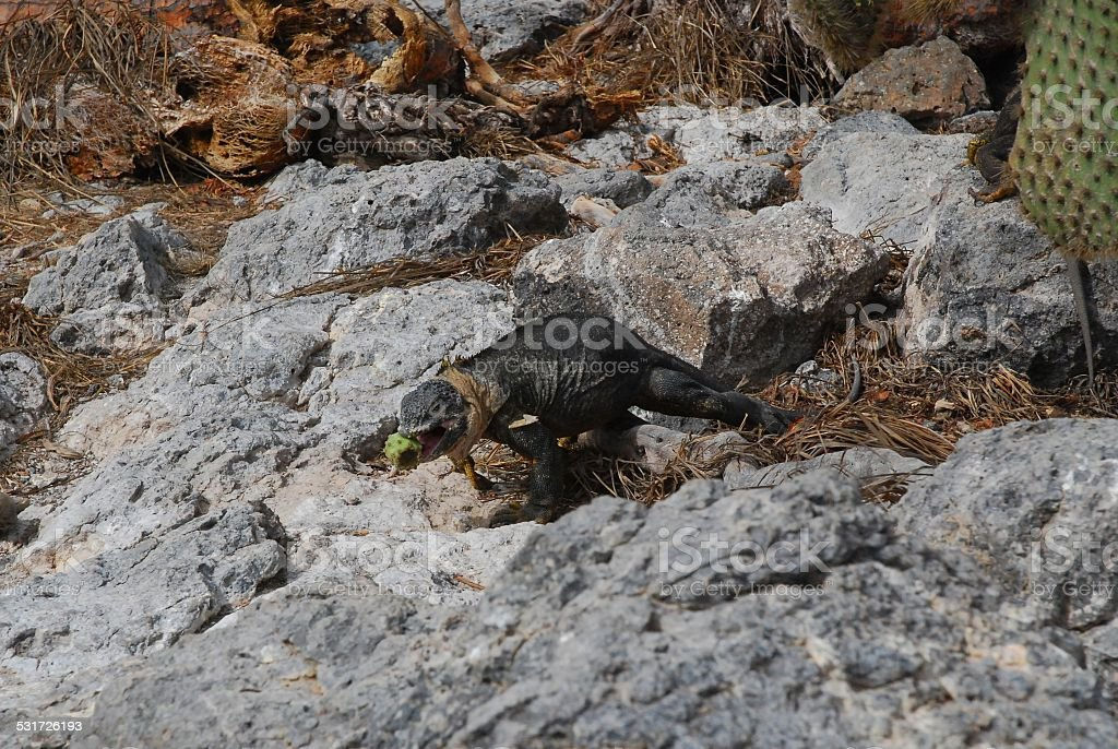Galapagos Land Iguana Eating Cactus Fruit royalty-free stock photo