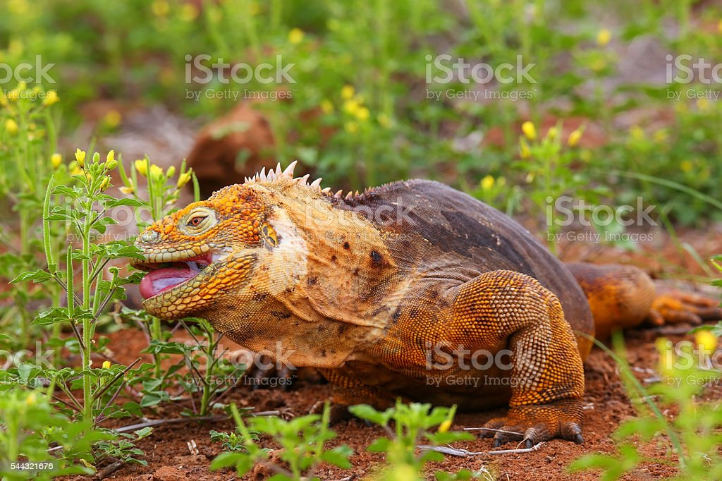 Galapagos Land Iguana eating flowers on North Seymour island, Ga stock photo