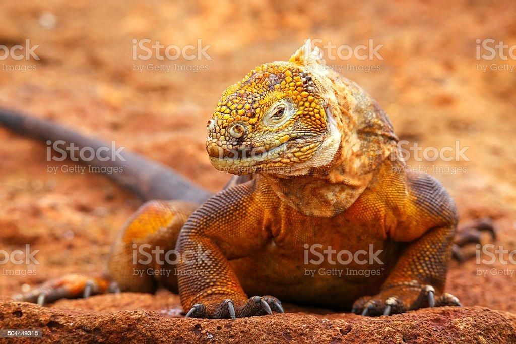 Galapagos Land Iguana on North Seymour island, Galapagos Nationa stock photo