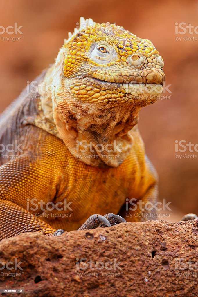 Galapagos Land Iguana on North Seymour island, Galapagos Nationa stock photo