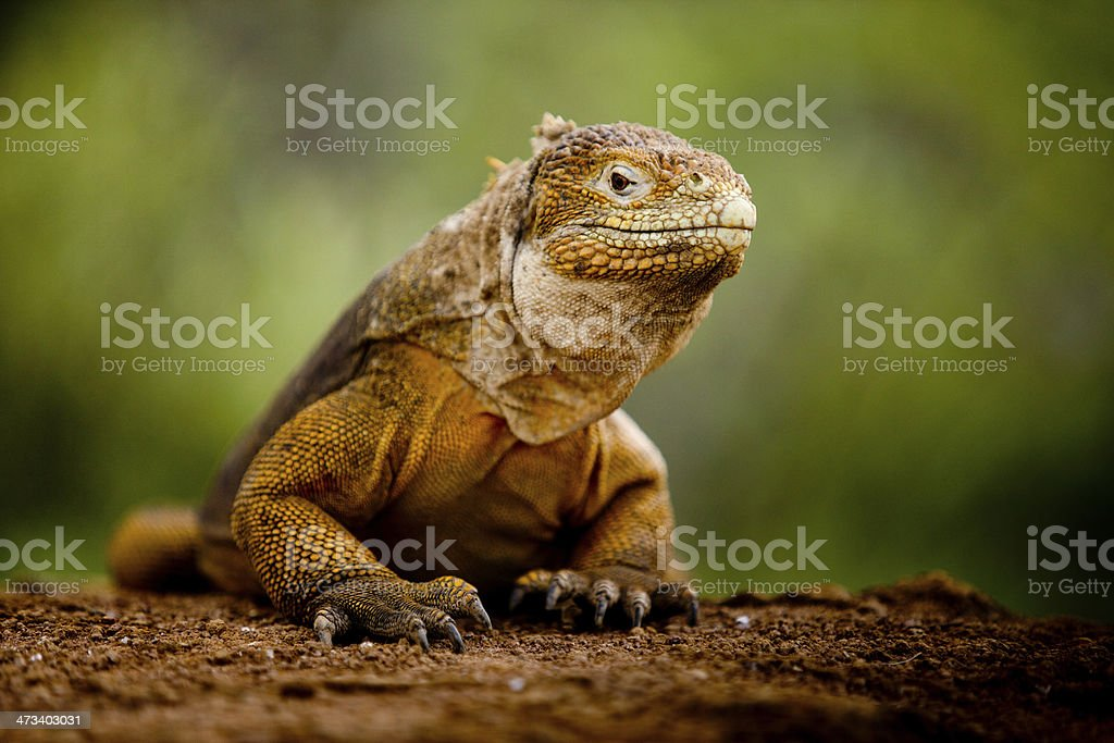 Galapagos land iguana on red dirt with green background stock photo